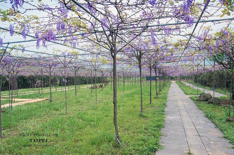 2016.Apr Wisteria @Tamsui, Taipei 淡水紫藤花秘境