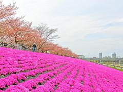 ground pink, 芝桜