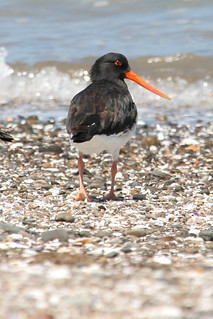Oystercatcher, New Zealand 2008