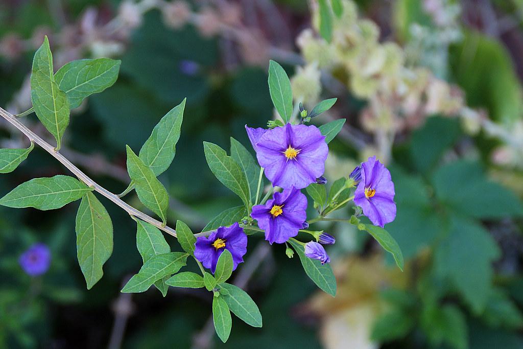 Solano de flor azul