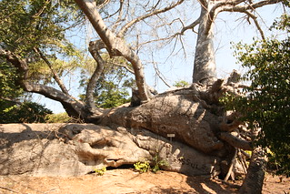 700 year old boaboa tree on Kwale Island, even though it's fallen over it's still growing