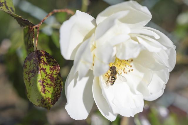 _IMG2415薔薇と虫
