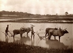 Burma ... ploughing with water Buffalo