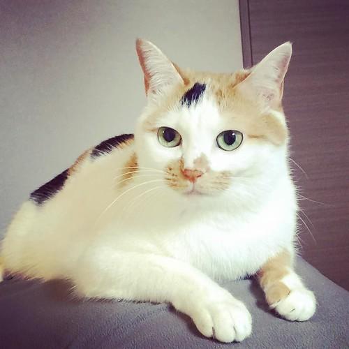#cat #cats #catsofinstagram #catstagram #instacat #instagramcats #neko #nekostagram #猫 #ねこ #ネコ# #ネコ部 #猫部 #ぬこ #にゃんこ #フワモコ部