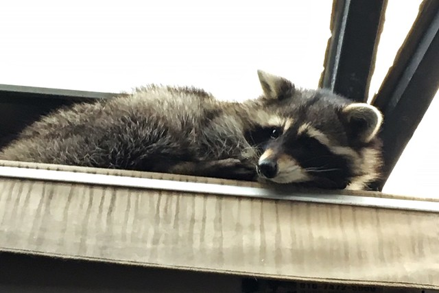 Blind Alley - Raccoon Cafe - Seoul, South Korea