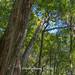 Harry_27892a,扁神木,鎮西堡神木群,A區神木群,鎮西堡,巨木群,巨木步道,登山步道,神木,紅檜,檜木,森林,檜木林,原始林,樹木,新竹縣,尖石鄉,秀巒村,新竹,尖石,秀巒,泰雅族生活領域