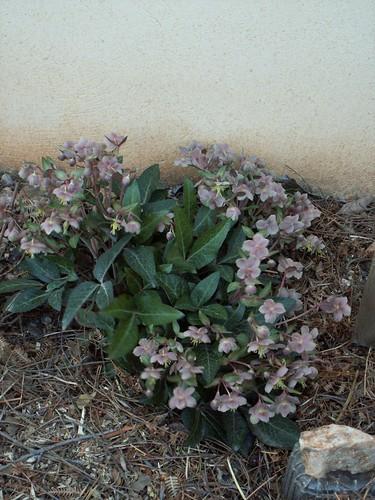 Helleborus lividus ssp lividus