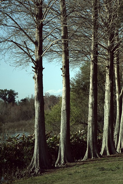 Winter Cypress 2