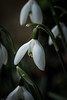 Why the snow drop hangs its head...