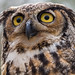 Ella, the Great Horned Owl by captainslack