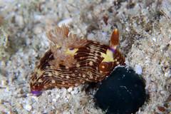 クロスジリュウグウウミウシ属の一種 6 Nembrotha sp. 6