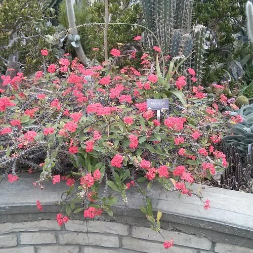 Crown of Thorns #toronto #allangardens #gardens #cactus #crownofthorns #euphorbiamilii