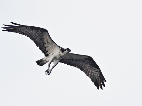 Osprey 20160404