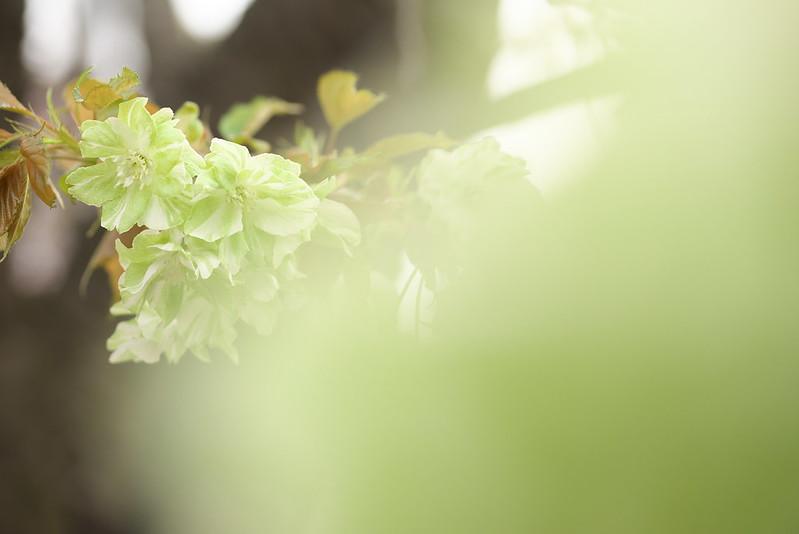 東京路地裏散歩 谷中霊園の鬱金桜 2016年4月9日