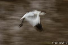 20160409-ROTL2606 Avocet Blurr Slow Shutter Speed Titchwell RSPB Reserve North Norfolk.jpg