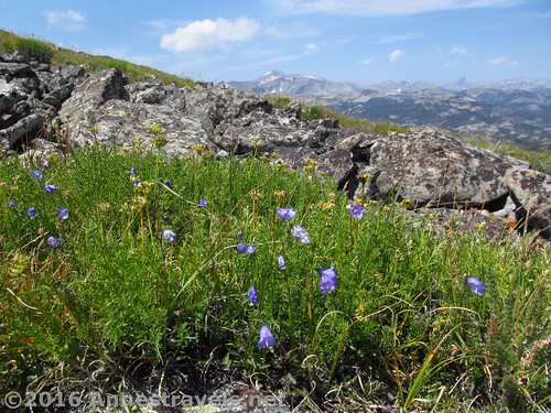 Wildflowers on the slopes of Roaring Fork Mountain, Wind River Range, Wyoming