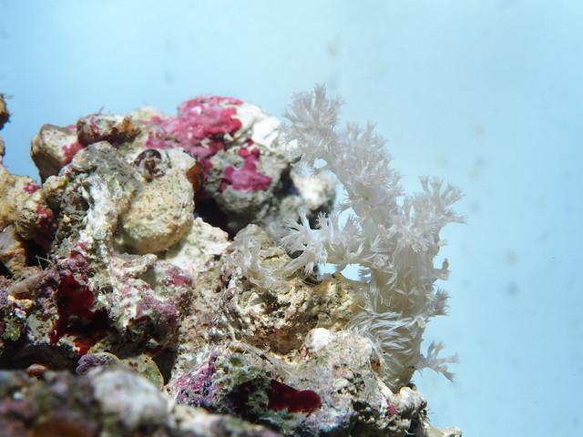 P4012432 珊瑚