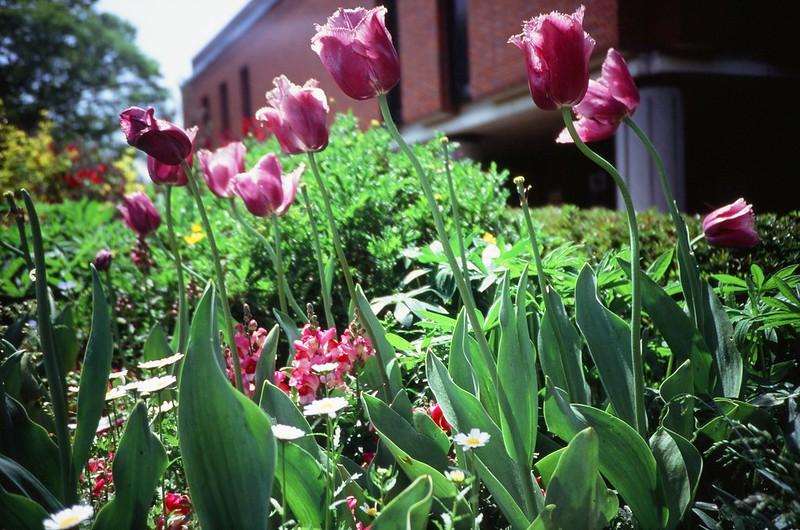 Lomography : Tulips
