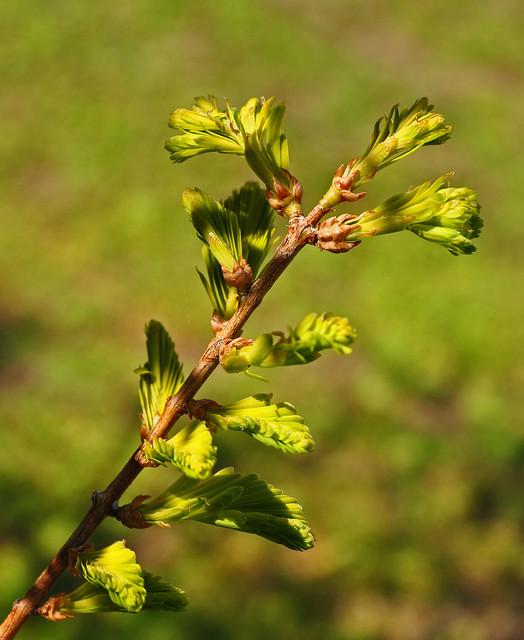 Metasequoia glyptostroboides 'Ogon' (2)