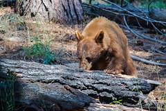 Cinnamon Black Bear