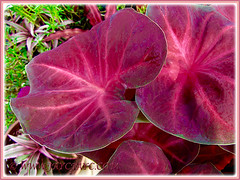 Gorgeous leaves of Caladium 'Lucky Purple' (Moung Mong Kol, Lucky Purple Elephant Ear, Heart of Jesus 'Lucky Purple'), April 28 2016