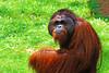 Orangutan - By Dimuth Weerasekera