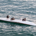 Los patos surferos