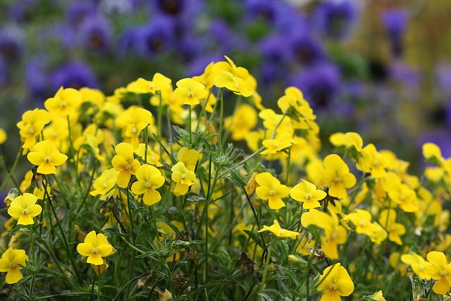Viola stojanowii