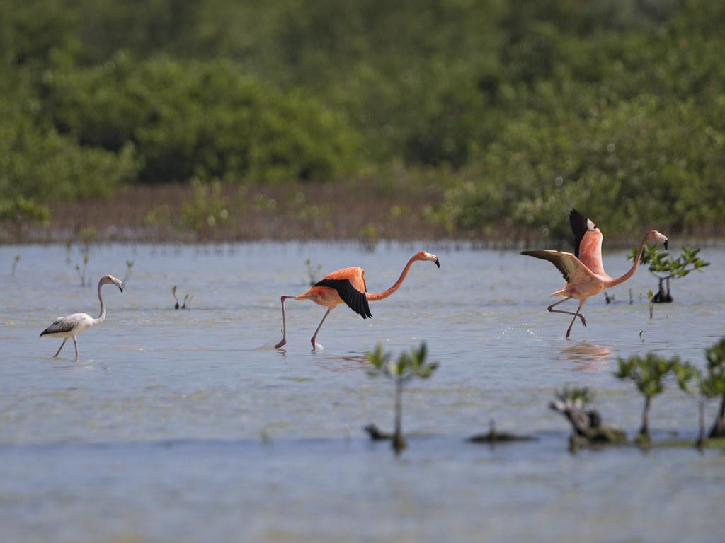 Greater Flamingo  Cuba