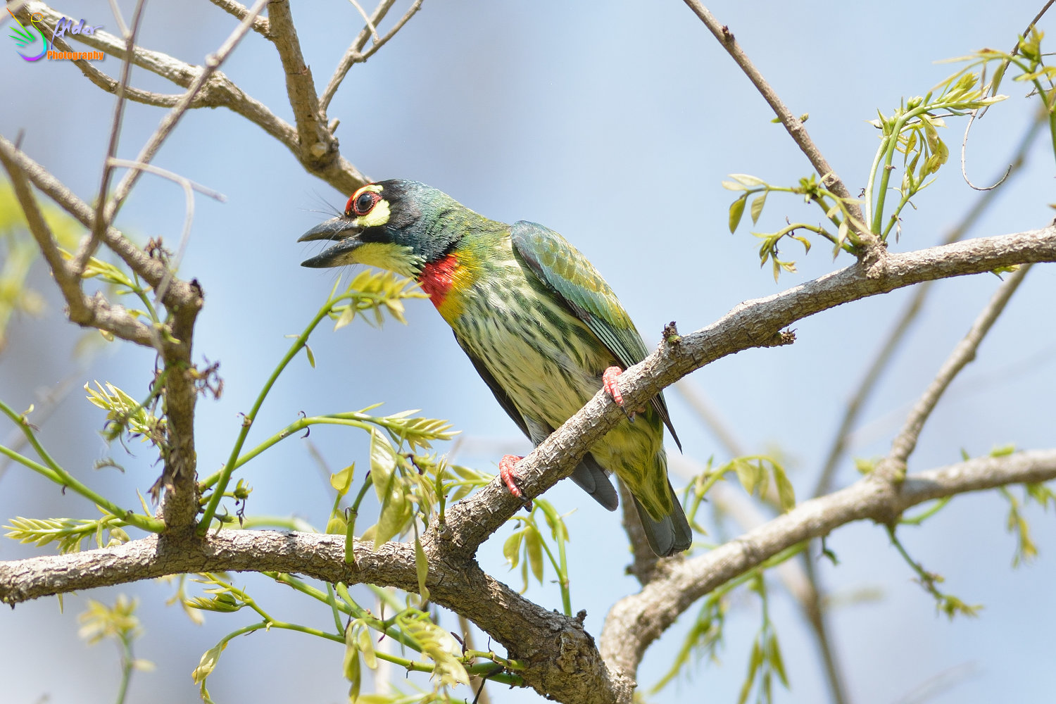 Coppersmith_Barbet_3091
