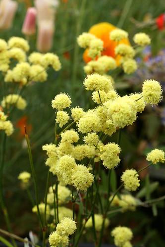 Eriogonum nudum ella nelsons yellow