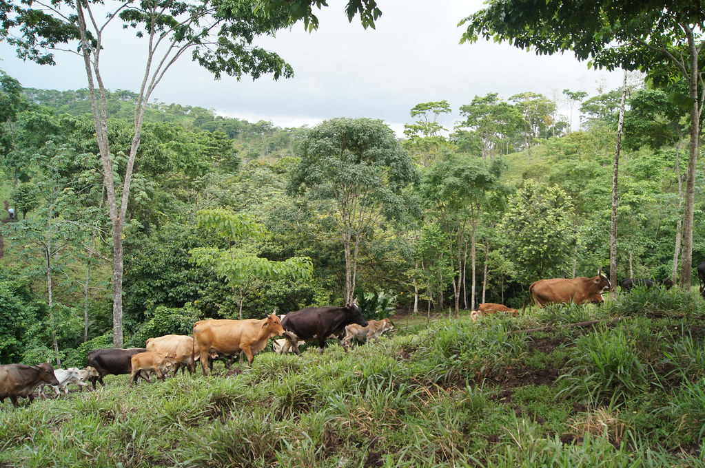 A model silvopastoral farm established in Matiguas, Nicaragua
