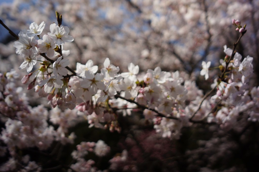 Cherry Blossom x CONTAX Biogon 21mm F2.8