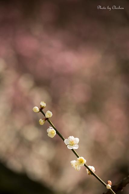 梅(Japanese Apricot)