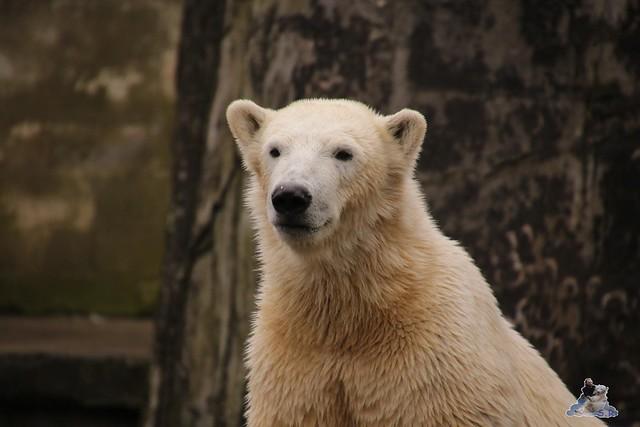 Eisbär Fiete im Zoo Rostock 12.03.2016   088
