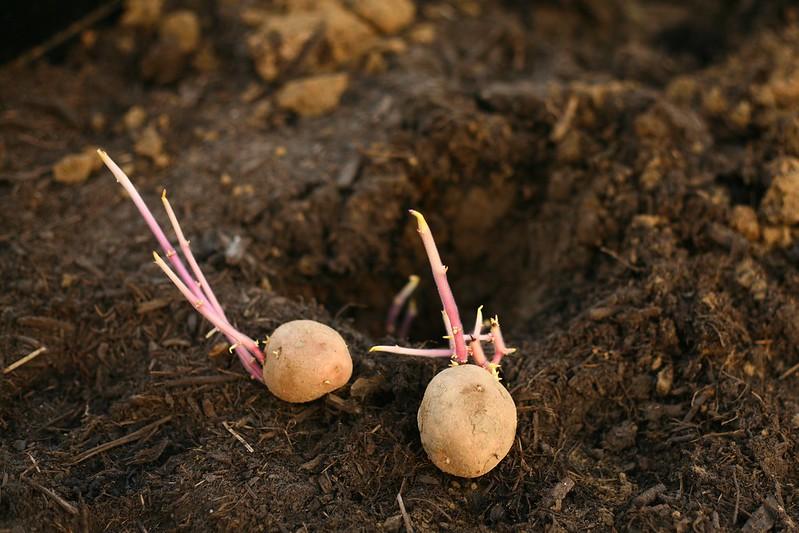 aardappelen in de serre