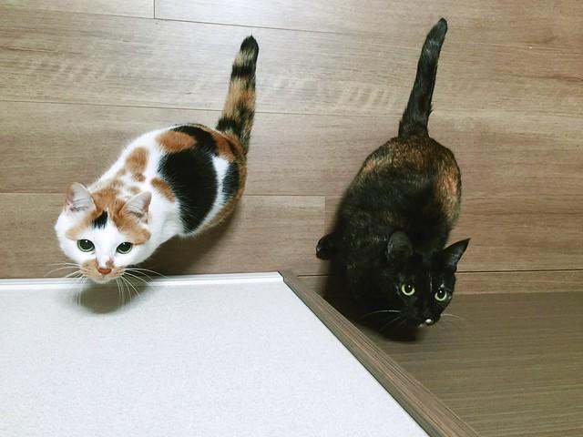 獲物を見つけた目  #cat #cats #catsofinstagram #catstagram #instacat #instagramcats #neko #nekostagram #猫 #ねこ #ネコ ネコ部 #猫部 #ぬこ #にゃんこ #ふわもこ部