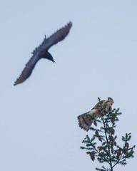 American Crow (Corvus brachyrhynchos) harasing Cooper's Hawk (Accipiter cooperii)
