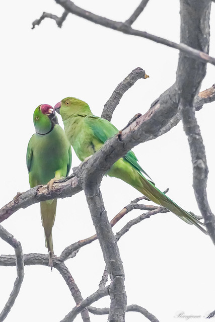Rose Ringed Parakeet Couple