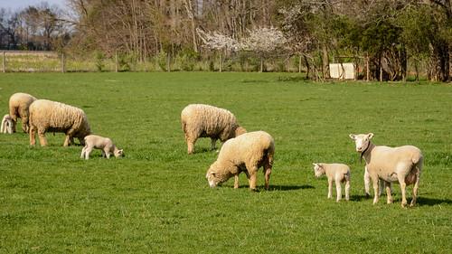 sheep farm farming indiana lamb lambs geolocation waynecounty waynet geocity geocountry camera:make=nikoncorporation exif:make=nikoncorporation geostate exif:aperture=ƒ11 camera:model=nikond7100 exif:model=nikond7100 exif:isospeed=200 exif:focallength=92mm geo:lon=84915122222222 geo:lat=39947261111112