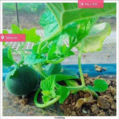Good Morning, Melon kung...see u in a few months. Stay strong and grow sweet 😄