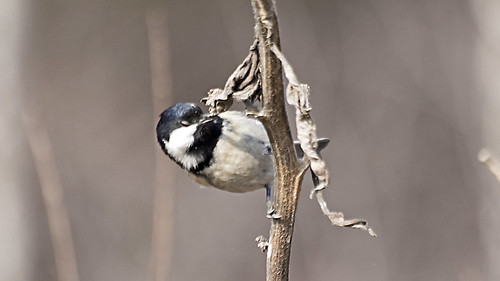 Coal Tit dining withered leaf
