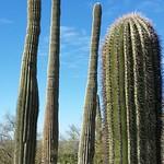 saguaros