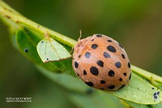 Ladybird (Coccinellidae) - DSC_1755