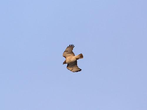 Paterno Hawk - 6125
