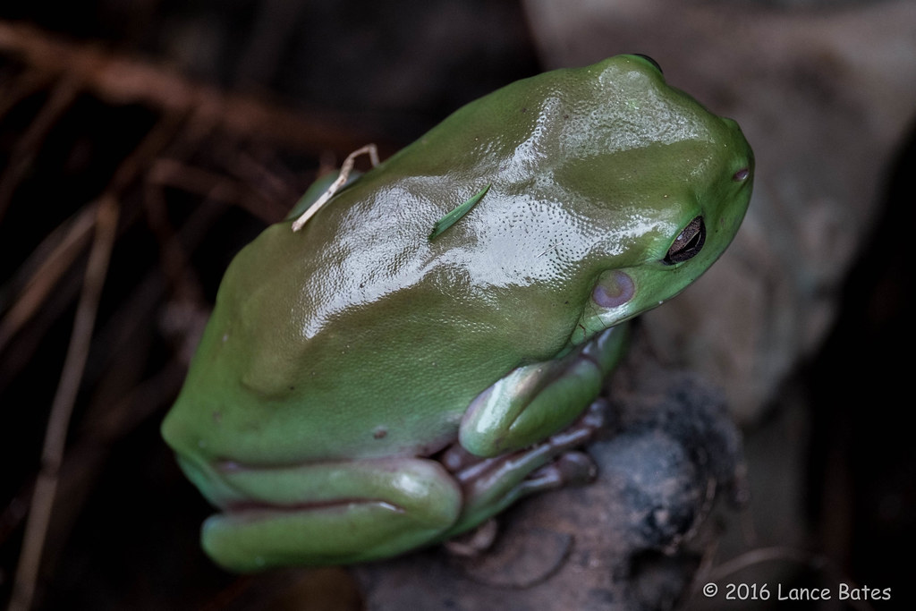 20160207-Green-frog-in-water-meter-box