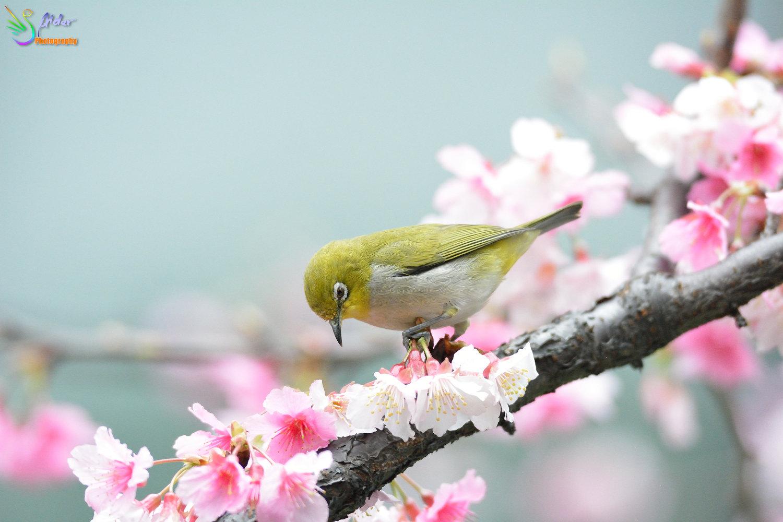 Sakura_White-eye_8234