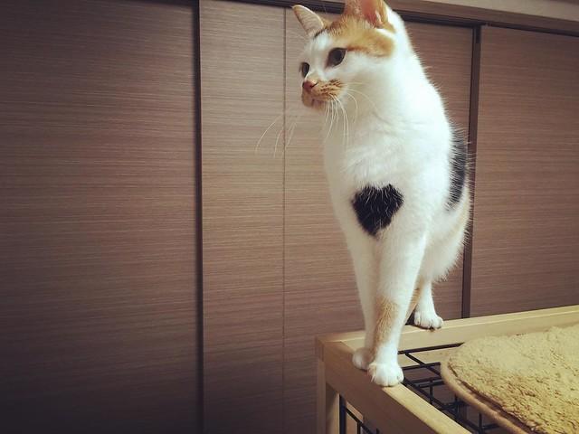 胸のマークがチャームポイントです☝️ #cat #cats #catsofinstagram #catstagram #instacat #instagramcats #neko #nekostagram #猫 #ねこ #ネコ# #ネコ部 #猫部 #ぬこ #にゃんこ #フワモコ部