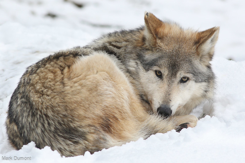 Wolf Laying in Snow