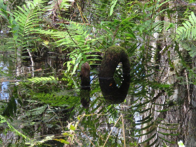 corkscrew-swamp 3